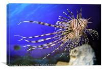 Lion fish in the aquarium with corals and algae aq, Canvas Print