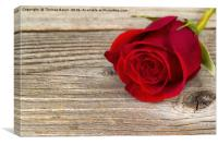 Single freshly cut red rose on rustic wood , Canvas Print