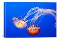 Large jellyfish, Atlantic Sea Nettle, Canvas Print