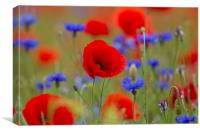 Poppies and Cornflowers in Meadow, Canvas Print