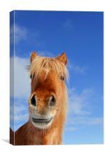 Icelandic Horse, Canvas Print