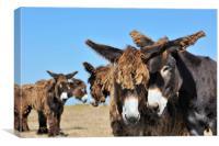 Poitou Donkeys, Canvas Print