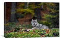Wolf in Forest, Canvas Print