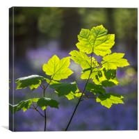 Sycamore maple in Spring, Canvas Print