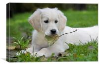 White Golden Retriever Pup with Leaf, Canvas Print