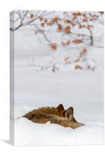 Sleeping Wolf in Winter, Canvas Print