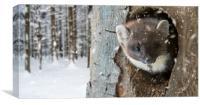 Pine Marten in Winter, Canvas Print
