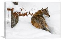 Wolf Hunting in the Snow in Winter, Canvas Print