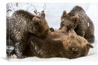 Brown Bear Suckling Cubs in the Snow, Canvas Print