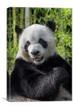 Giant Panda in Bamboo Forest, Canvas Print