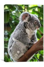 Cute Koala Bear in Tree, Canvas Print