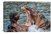 Fighting Hippos, Canvas Print
