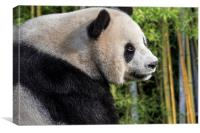 Giant Panda Bear in Bamboo Forest, Canvas Print