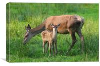 Red Deer Hind with Fawn, Canvas Print