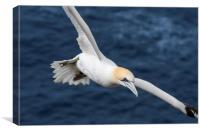 Northern gannet in Flight, Canvas Print