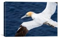 Northern Gannet Soaring over the Ocean, Canvas Print