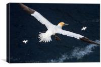 Northern Gannets soaring over Ocean, Canvas Print