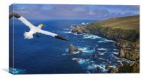 Gannet flying over Hermaness, Shetland, Canvas Print