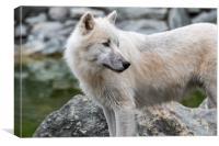 Canadian Arctic Wolf, Canvas Print