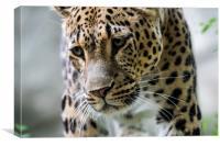 Persian Leopard, Canvas Print