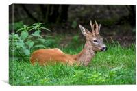 Roe Deer Buck, Canvas Print
