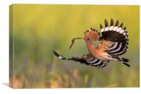 Eurasian Hoopoe in Flight, Canvas Print