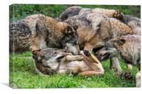 Grey Wolf Pack, Canvas Print