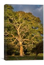 Dead English Oak Tree, Canvas Print