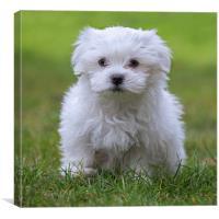 Cute Maltese Puppy, Canvas Print