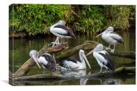 Australian pelicans , Canvas Print