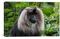 Lion-tailed Macaque, Canvas Print