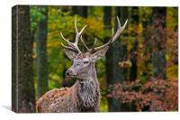 Young Red Deer Stag in Autumn Forest, Canvas Print