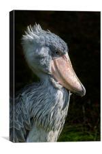 African Shoe-billed Stork, Canvas Print