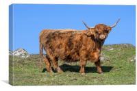 Highland Cow, Scotland, Canvas Print