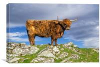 Highlander in Shetland, Canvas Print