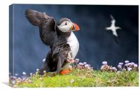 Atlantic Puffin flapping Wings, Canvas Print