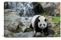 Giant Panda and Waterfall, Canvas Print