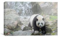 Panda Bear in the Mist, Canvas Print