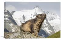 Alpine Marmot, Canvas Print