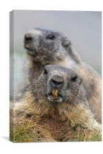 Two Marmots, Canvas Print