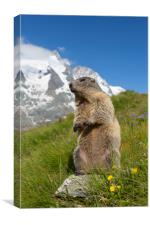 Marmot in the Alps, Canvas Print