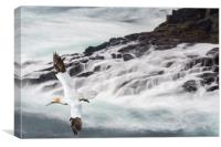 Gannet Soaring along Scottish Coast, Canvas Print