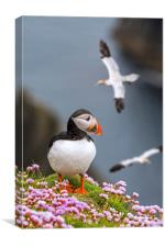 Puffin and Soaring Gannets in Scotland, Canvas Print