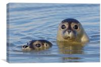 Two Harbour Seals, Canvas Print