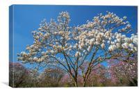 Flowering Magnolia , Canvas Print
