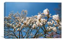 Magnolia stellata in Spring, Canvas Print