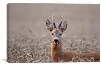 Roe Deer in Summer, Canvas Print