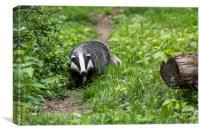 Badger on Wildlife Track, Canvas Print