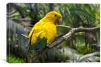 Golden Parakeet, Canvas Print