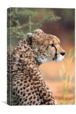 Sudan Cheetah, Canvas Print